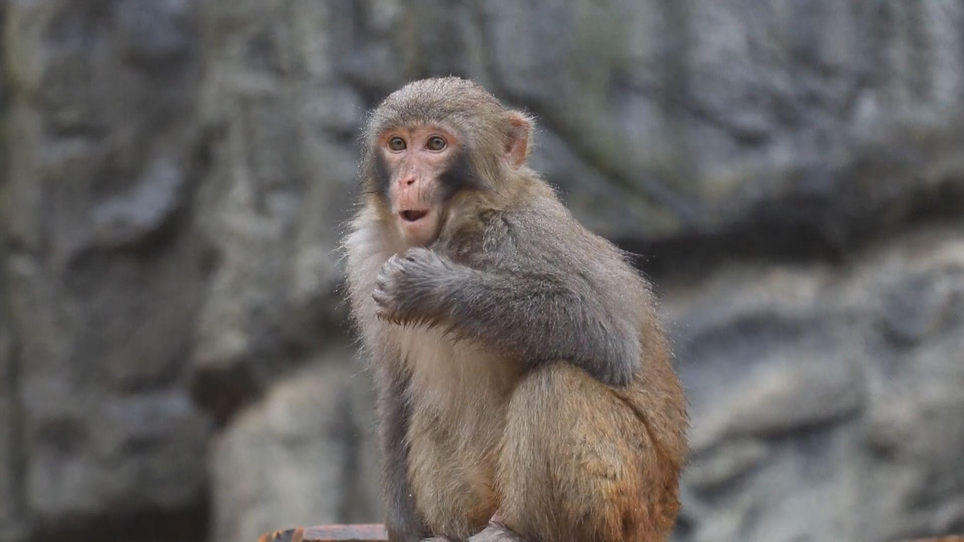 【環球薈報】美國科學家倡建立戰略猴子儲備