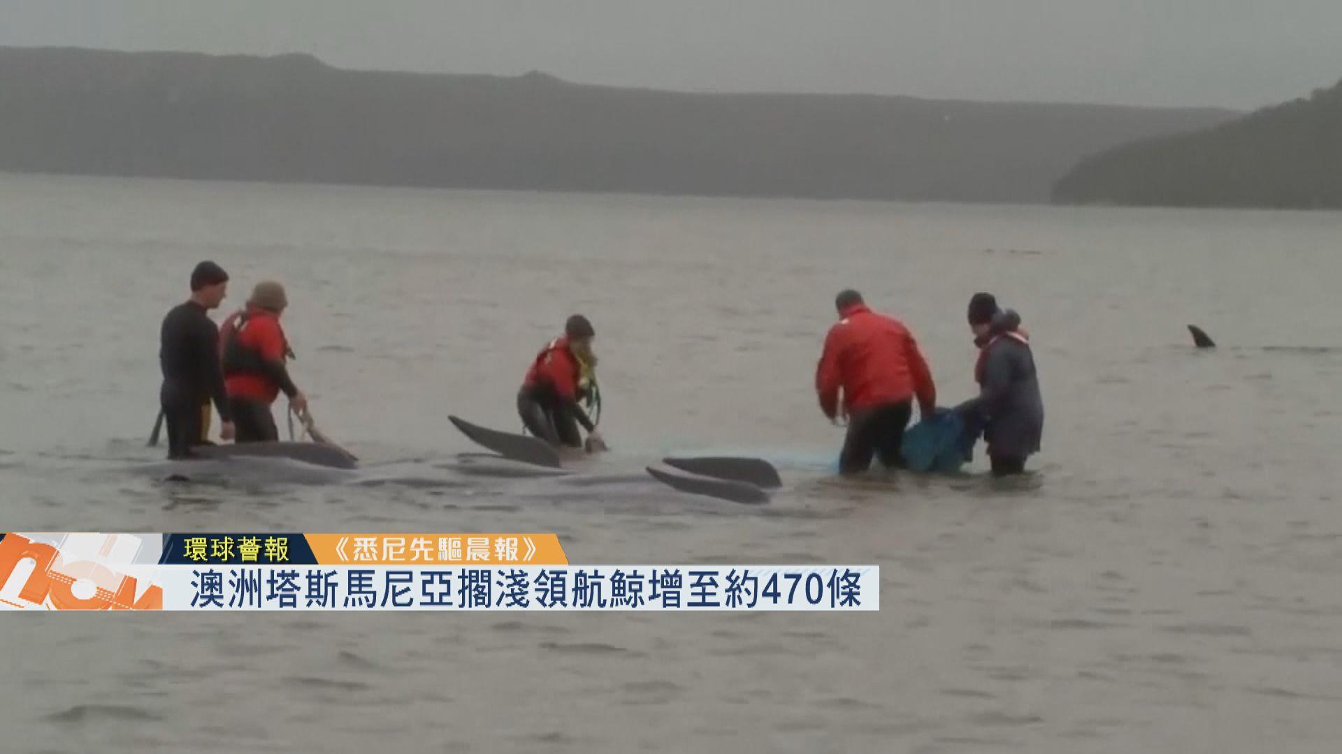 【環球薈報】澳洲塔斯馬尼亞擱淺領航鯨增至約470條