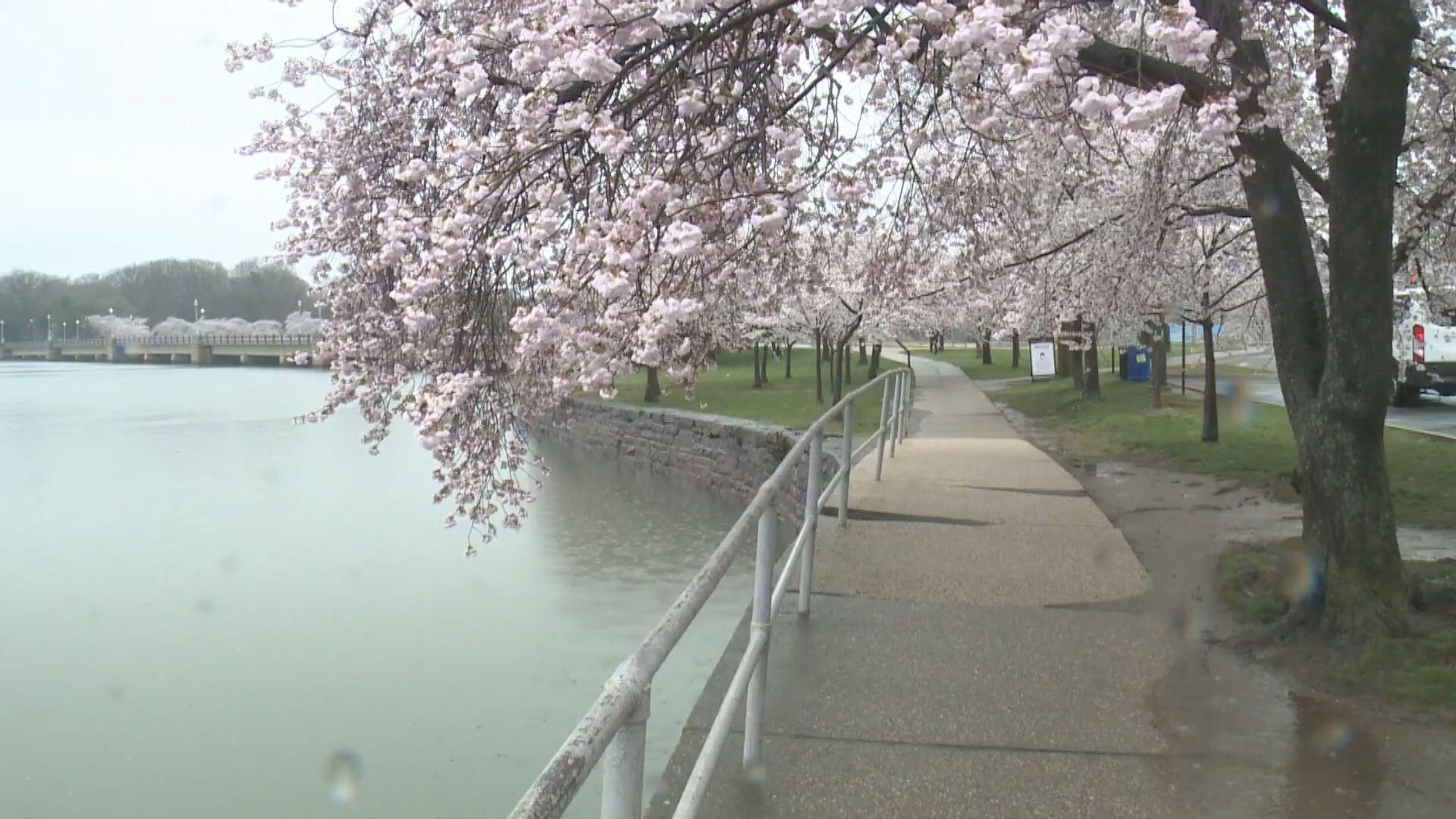 【環球薈報】美國國家公園櫻花提早盛開
