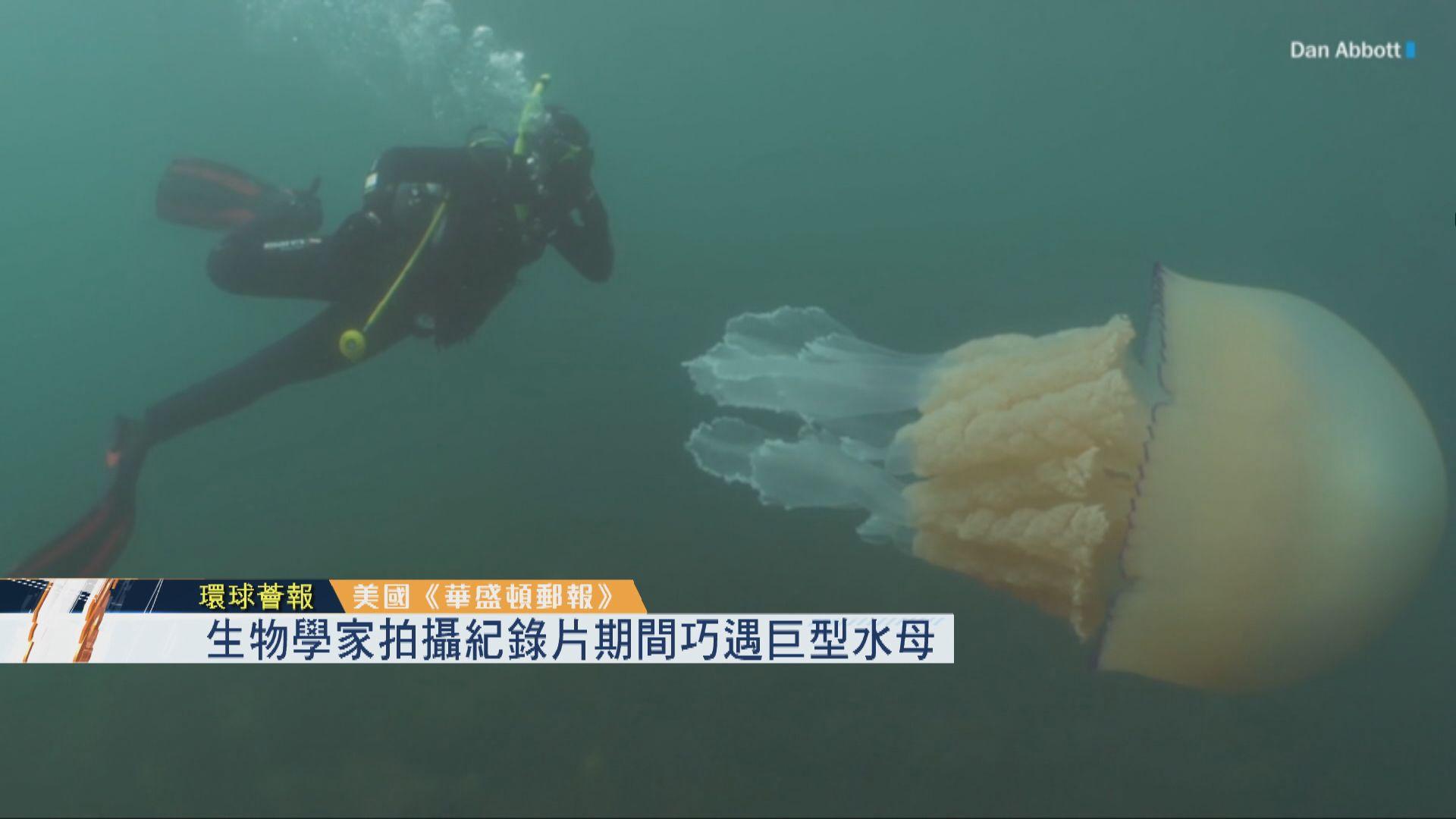 【環球薈報】生物學家拍攝紀錄片期間巧遇巨型水母