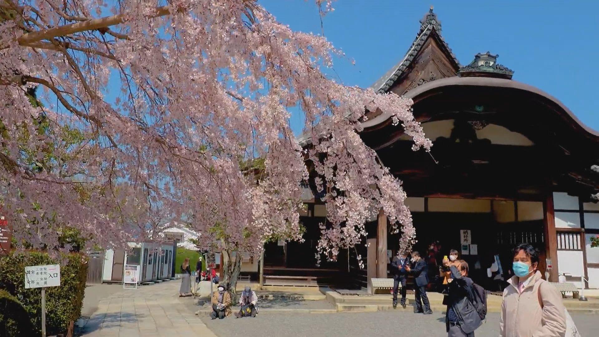 【環球薈報】日本京都迎來近1200年最早「櫻花季」