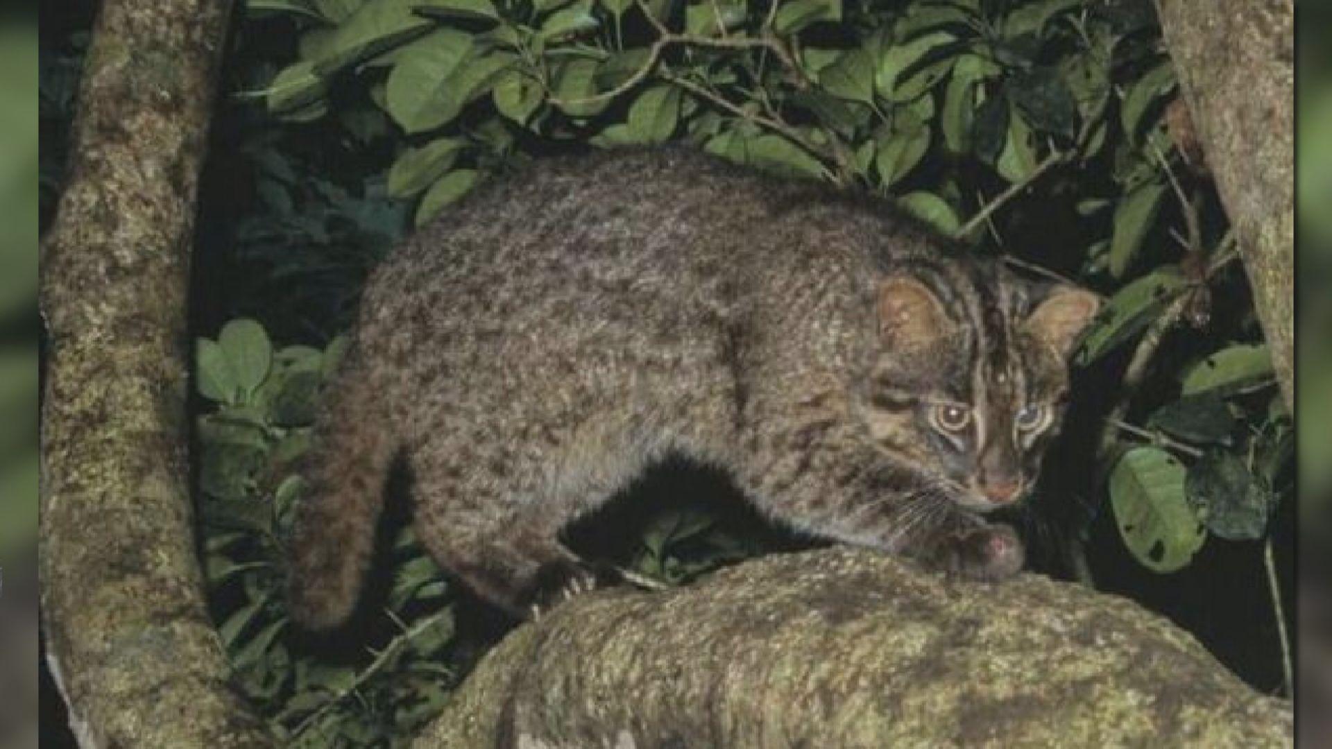 【環球薈報】沖繩瀕危山貓因疫情廿年來首次零車禍死亡