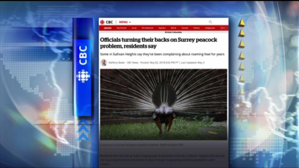 【環球薈報】加拿大卑詩省住宅區被逾百孔雀「佔領」