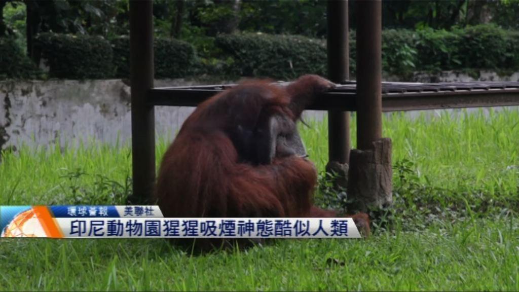 【環球薈報】印尼動物園猩猩吸煙神態酷似人類