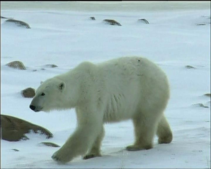 【環球薈報】北極熊基因助研究對抗癡肥