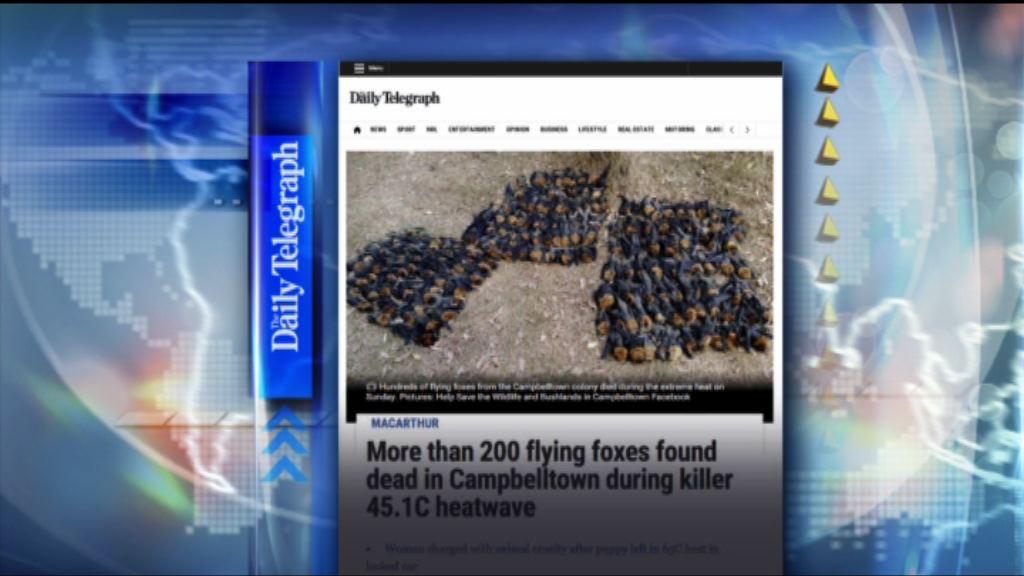 【環球薈報】澳洲市郊高溫二百多隻蝙蝠熱死