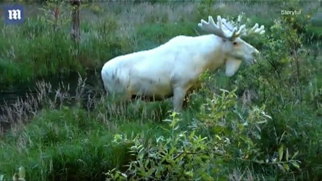 【環球薈報】瑞典男子遇稀有白駝鹿
