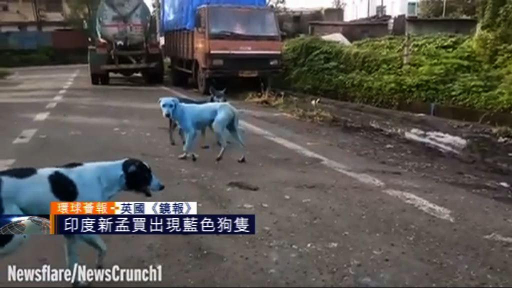 【環球薈報】印度新孟買出現藍色狗隻