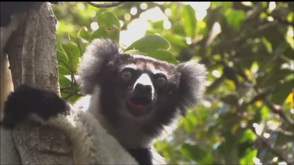 【環球薈報】馬達加斯加採寶石趕絕稀有狐猴