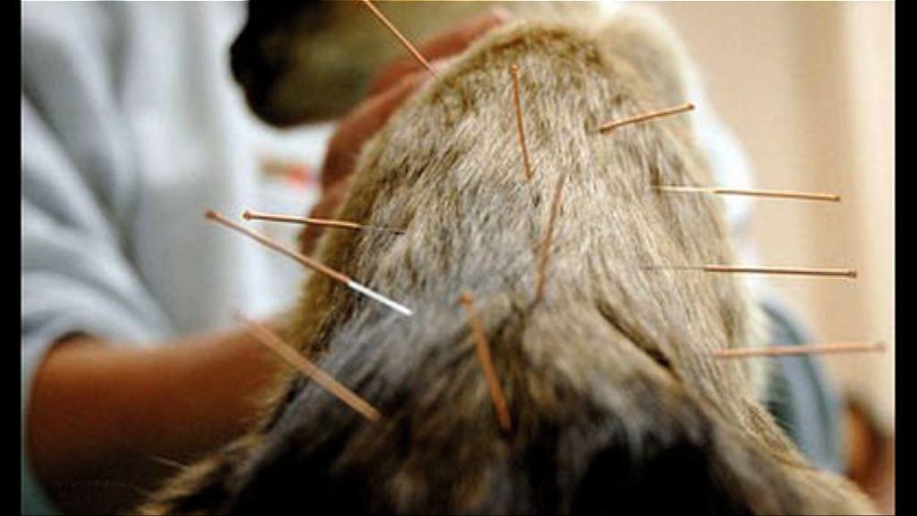 【環球薈報】中國寵物接受針灸治療