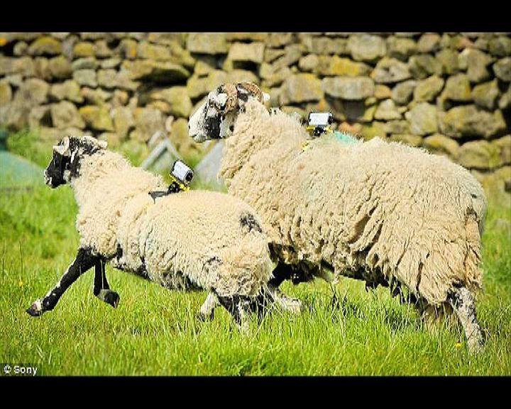 【環球薈報】英國郊區出動WIFI綿羊