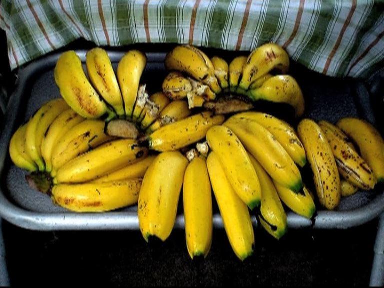 【環球薈報】全球香蕉面臨絕種危機