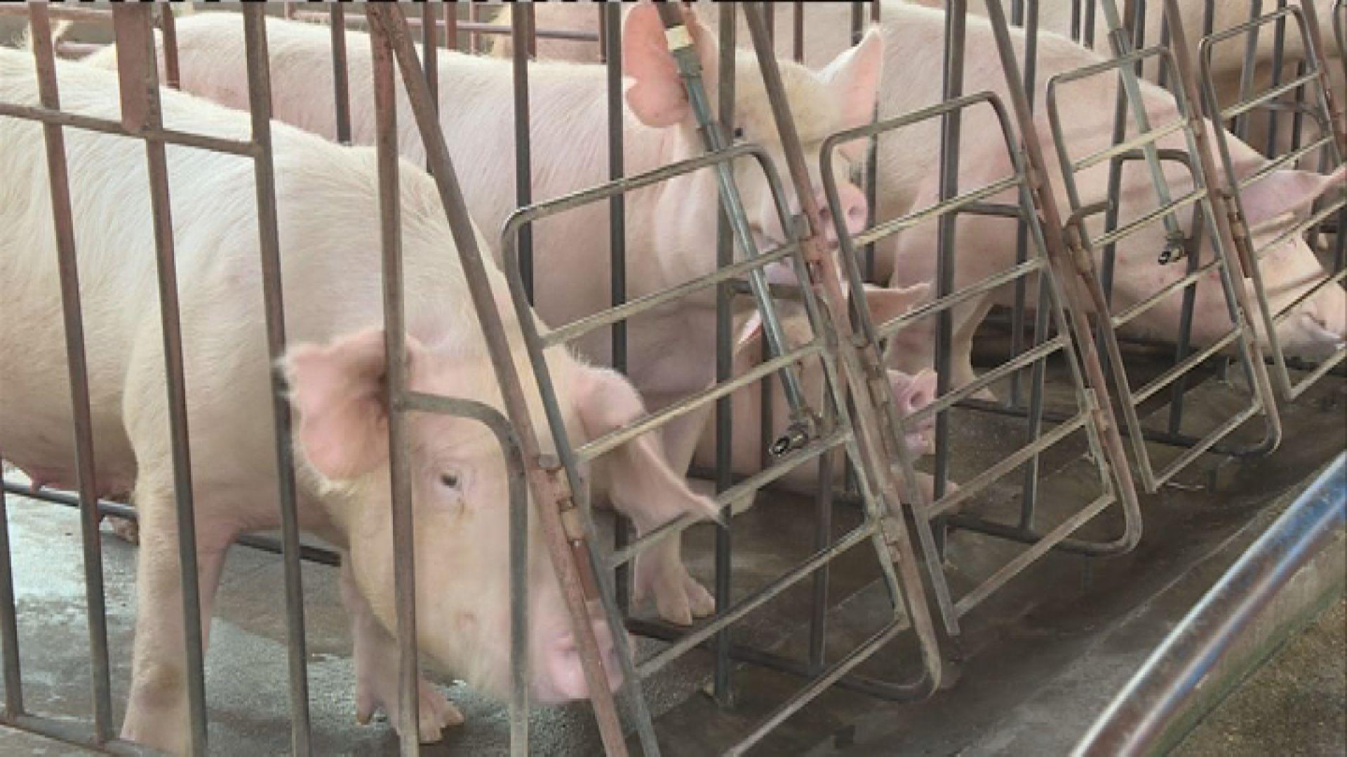 港府:廣州黃埔區無註冊供港活豬養殖場