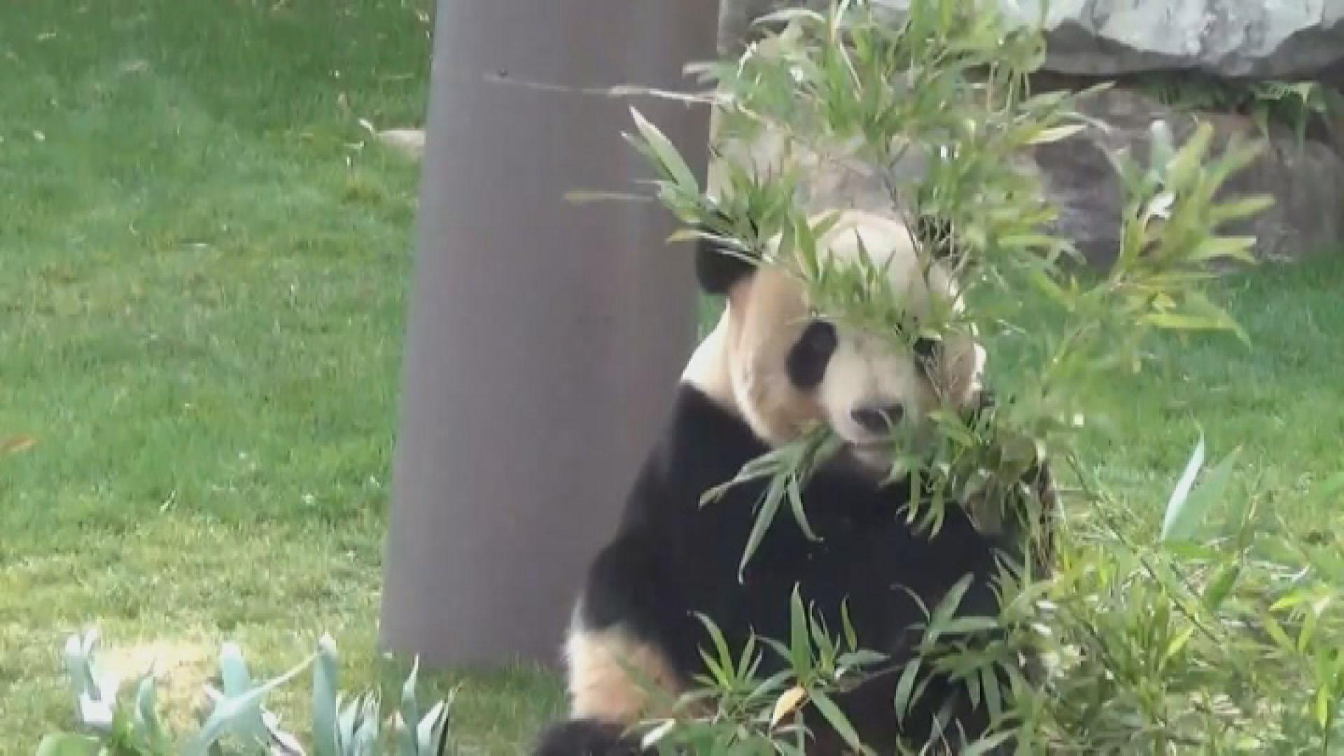 分析指若中方願借大熊貓將視為中日關係改善