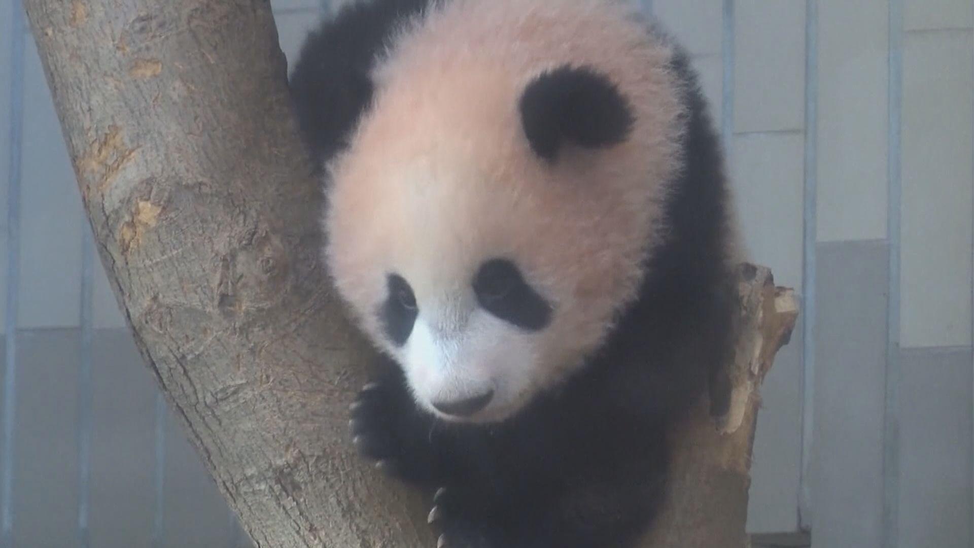 日本上野動物園大熊貓「真真」誕下雙胞胎
