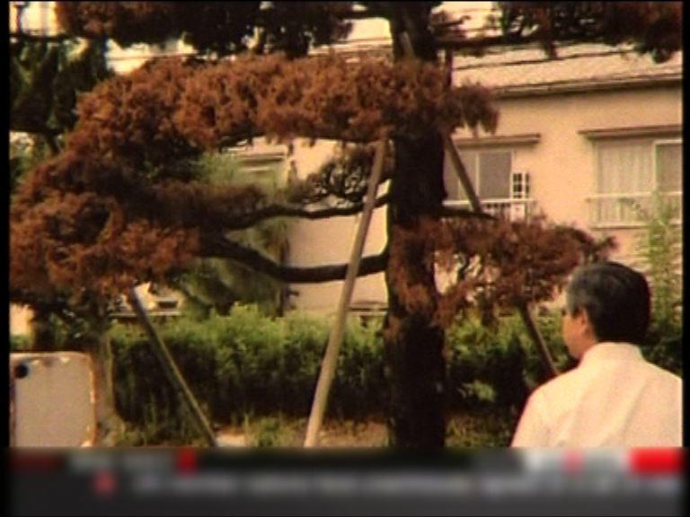 二次大戰幸存柏樹被製成排笛