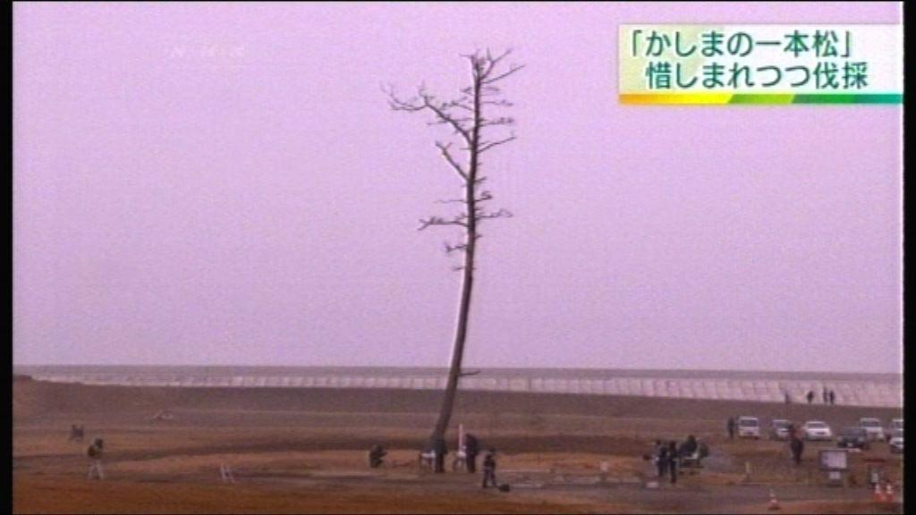 日本福島縣奇迹之松因枯萎被砍伐