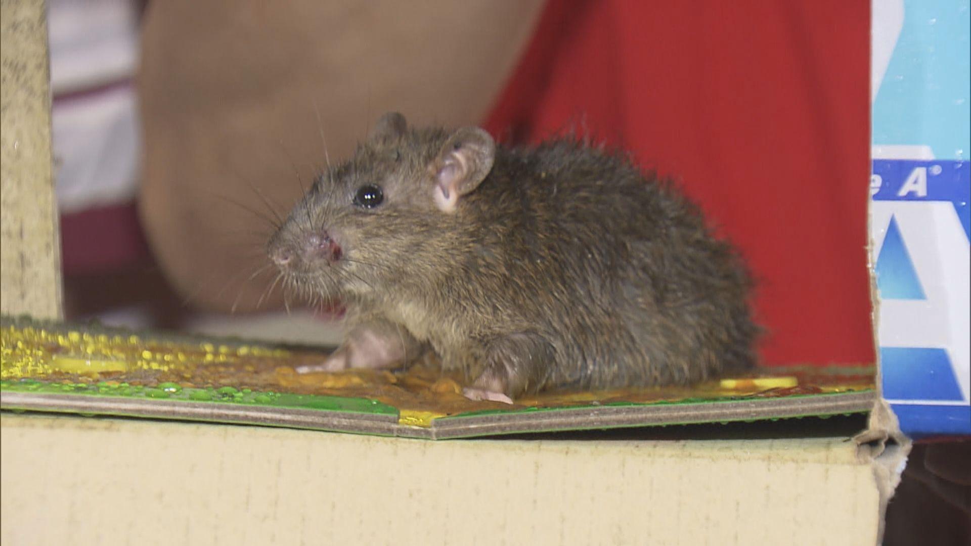 何栢良:大鼠戊型肝炎可在人與人之間傳播