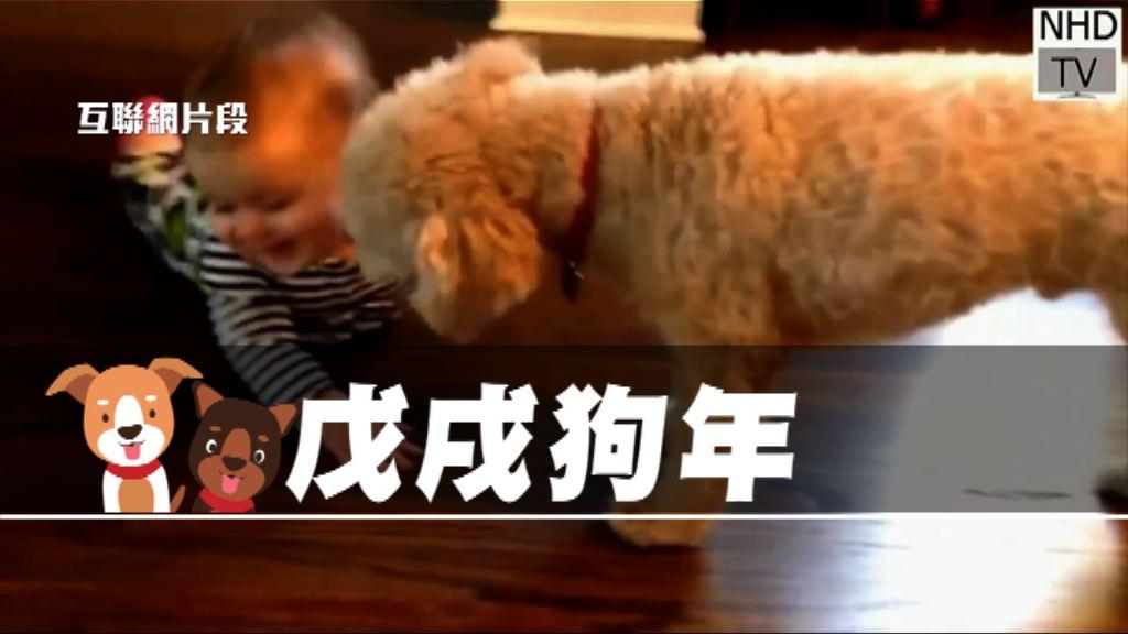 【新聞智庫】戊戌狗年