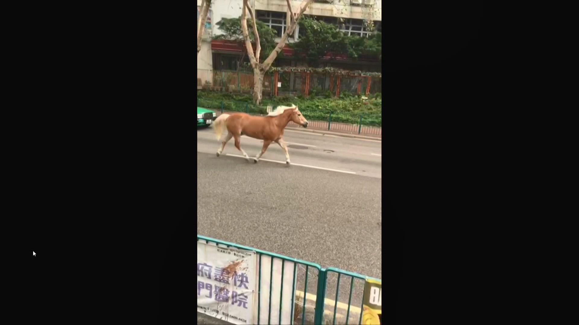 【走馬!】馬匹「出走」 屯門盛裝舞步行街街