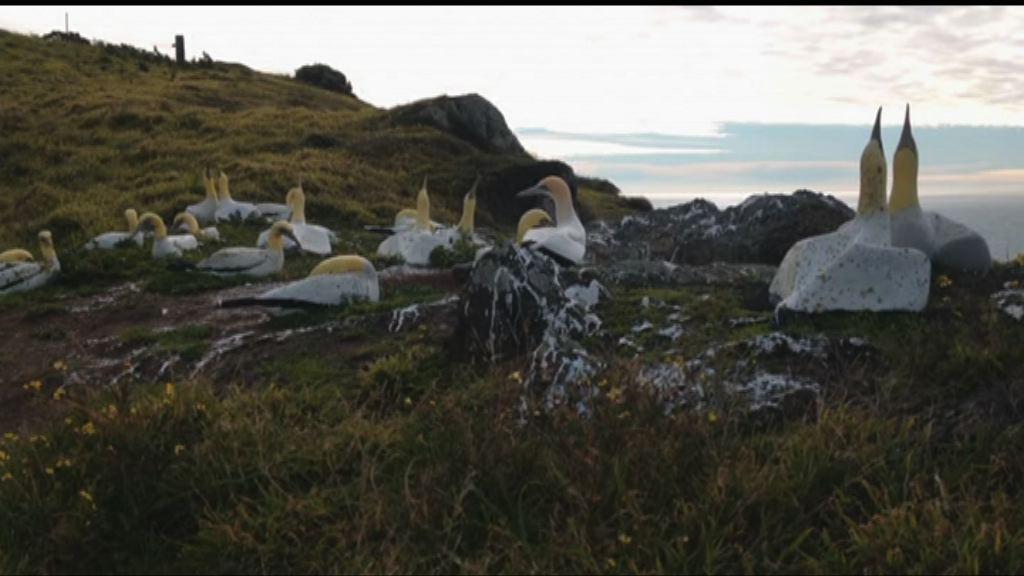 新西蘭塘鵝死在道具「同伴」旁