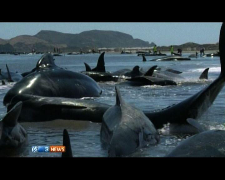 新西蘭送別角近二百條鯨魚擱淺
