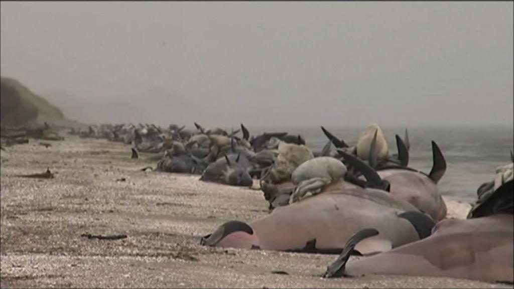 新西蘭當局清理擱淺鯨魚屍體