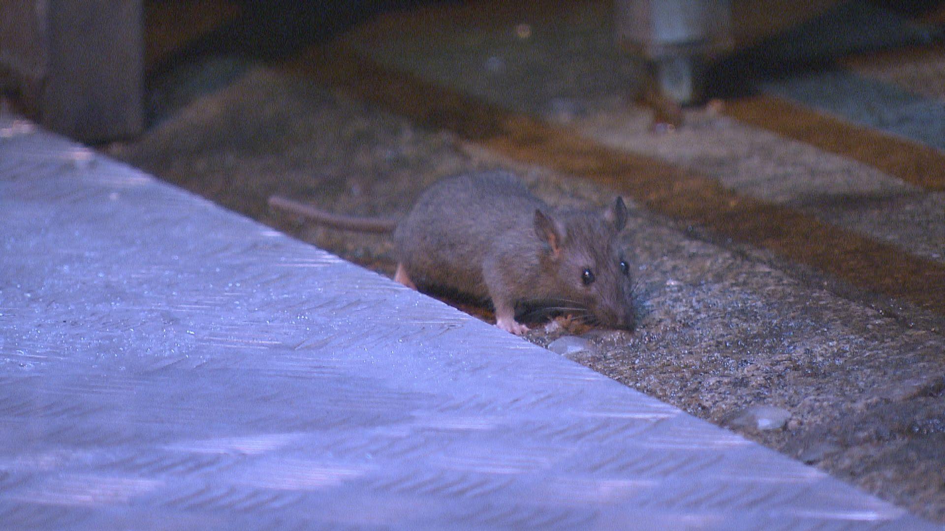 申訴專員主動調查食環署滅鼠成效