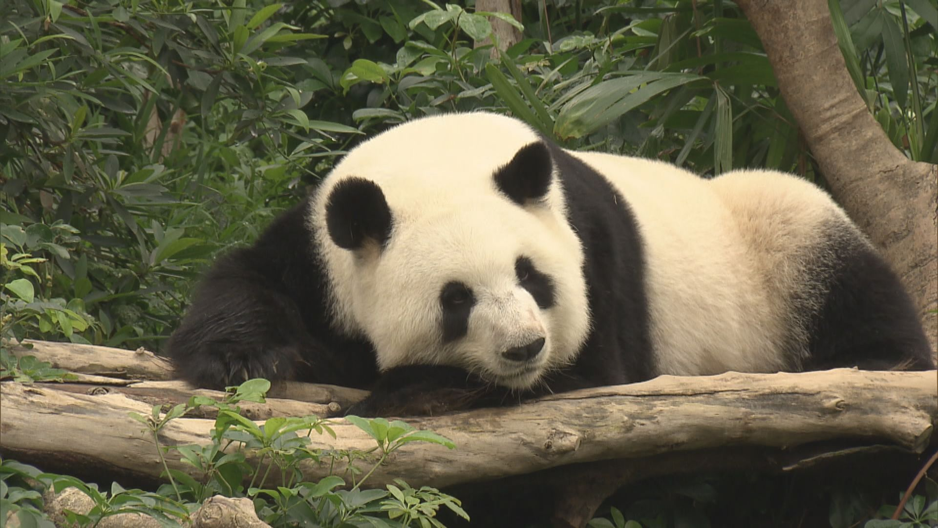 海洋公園關閉大熊貓展館讓盈盈樂樂交配