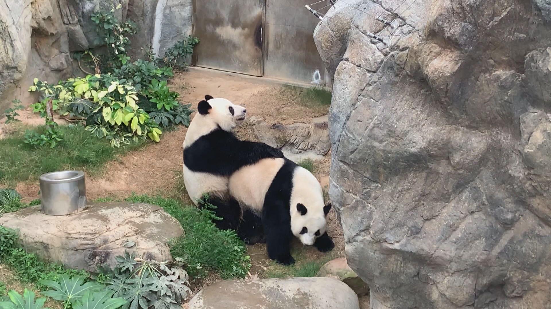 大熊貓盈盈現典型妊娠症狀