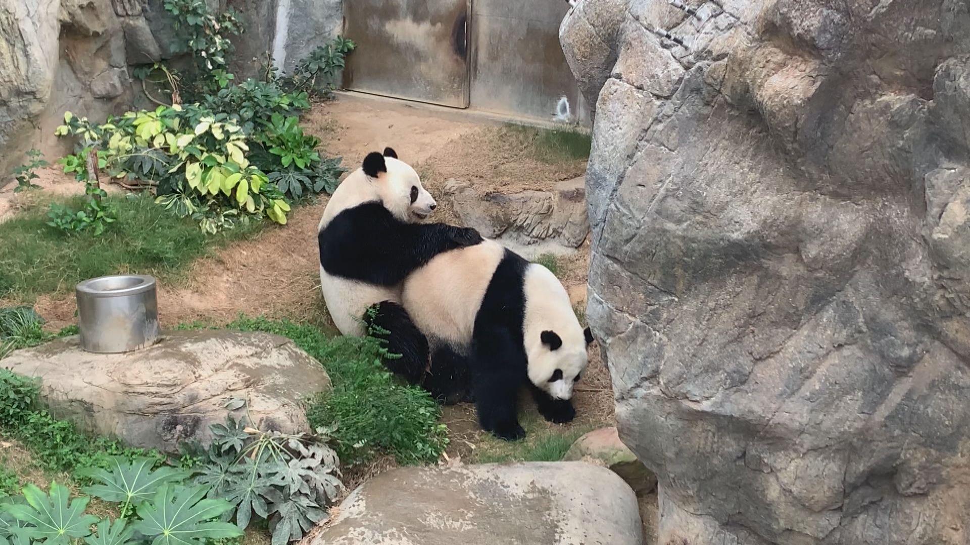 大熊貓盈盈再次未能成功懷孕