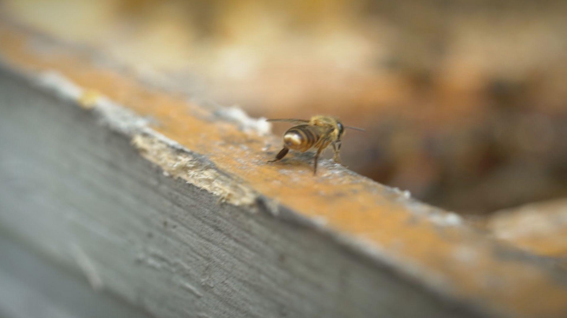 【經緯線本周提要】嘉道理農場:保育蜜蜂需增加蜜源