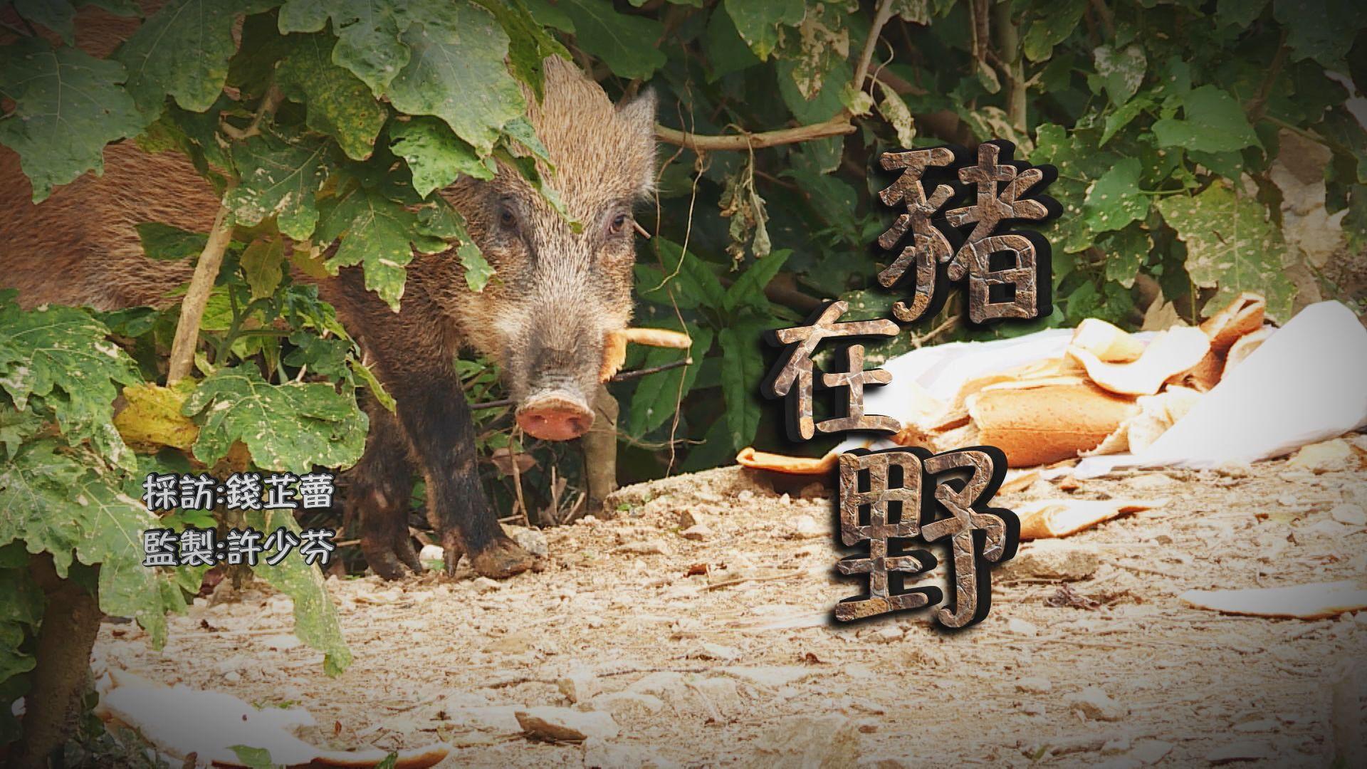 【經緯線】豬在野(一)