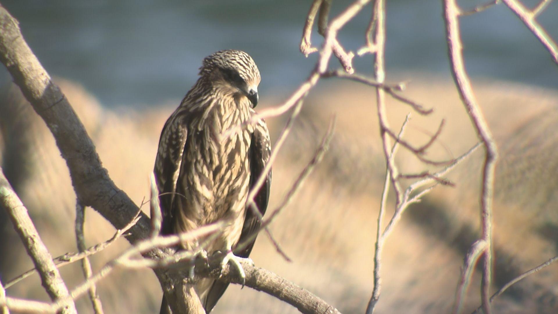 【經緯線本周提要】觀察逾十年 鷹痴追蹤本地麻鷹繁殖故事