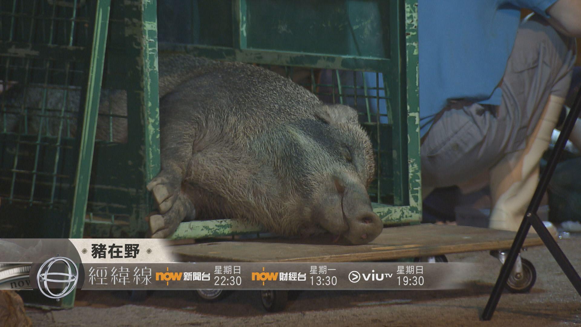 【經緯線本周提要】豬在野