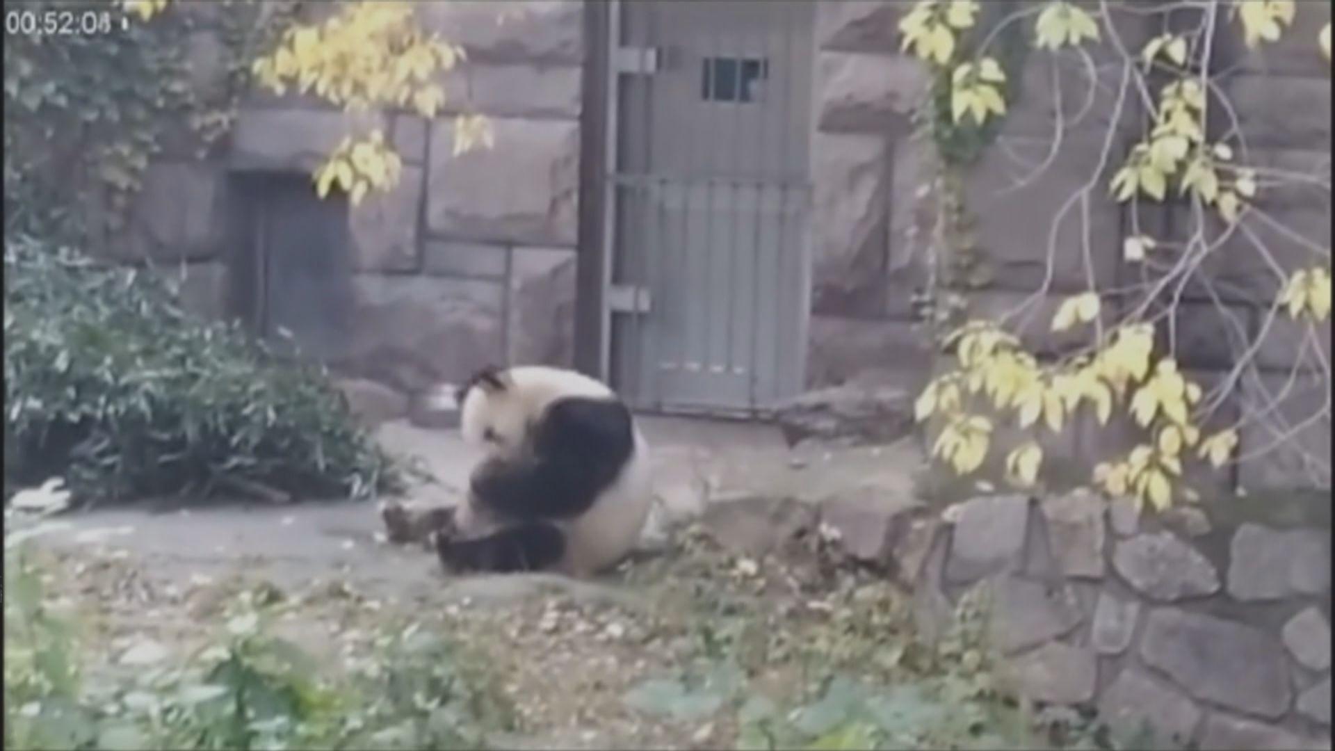 研究發現野生大熊貓在馬糞打滾有助保暖