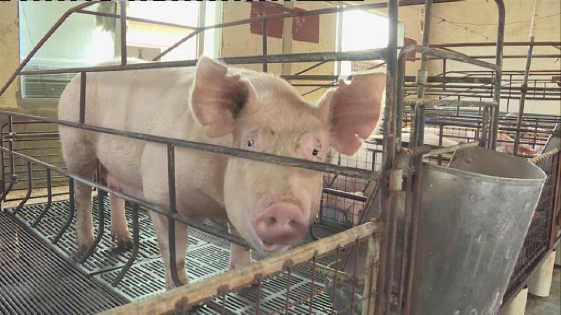 政府下月起禁止以廚餘餵豬防範非洲豬瘟