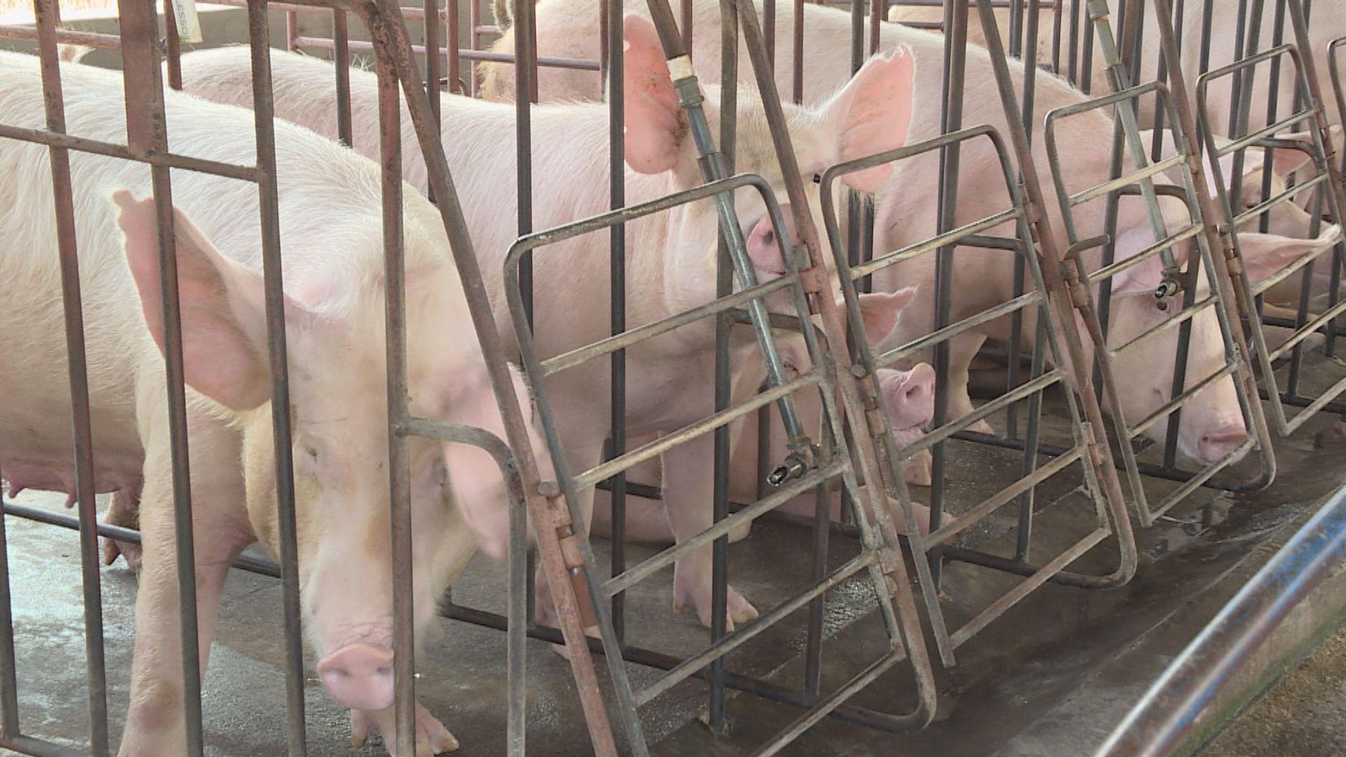 廣東省17個供港豬場暫停供港