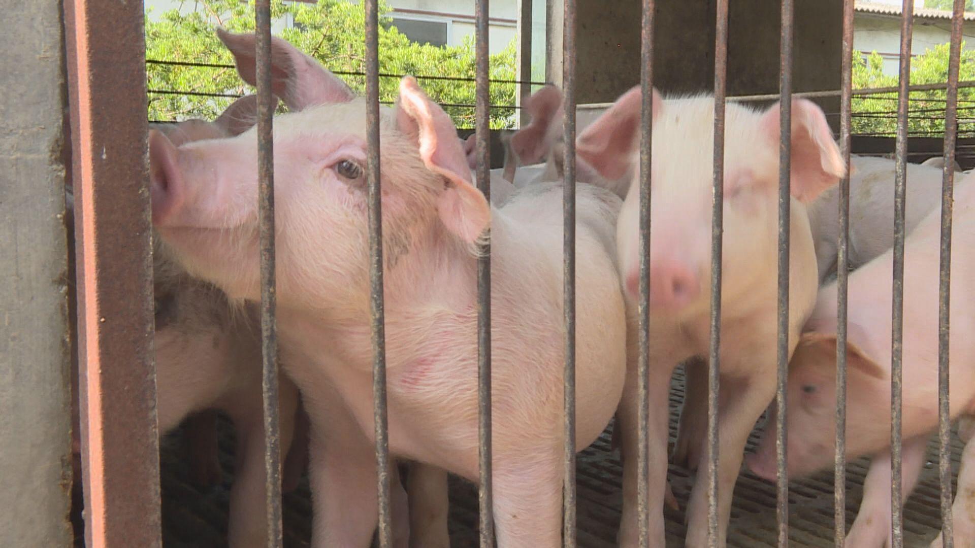 政府:至今並無註冊內地供港豬場出現非洲豬瘟