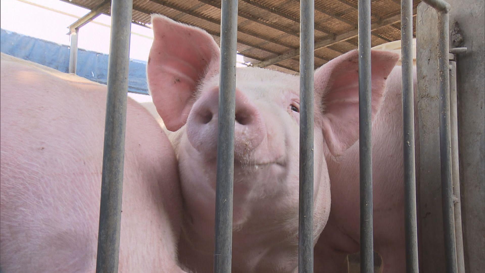 漁護署:積極考慮豬農提出屠房「日日清」