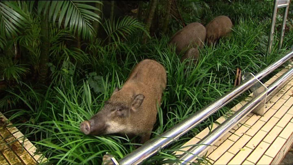 深灣道遊艇會附近發現四隻野豬