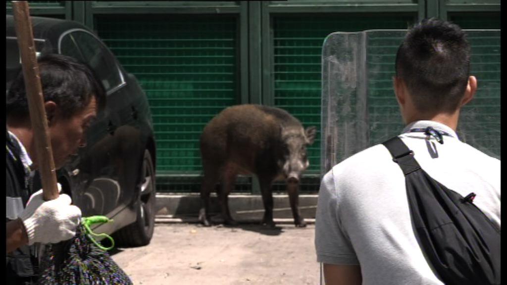 野豬闖入西灣河 四小時後被制服