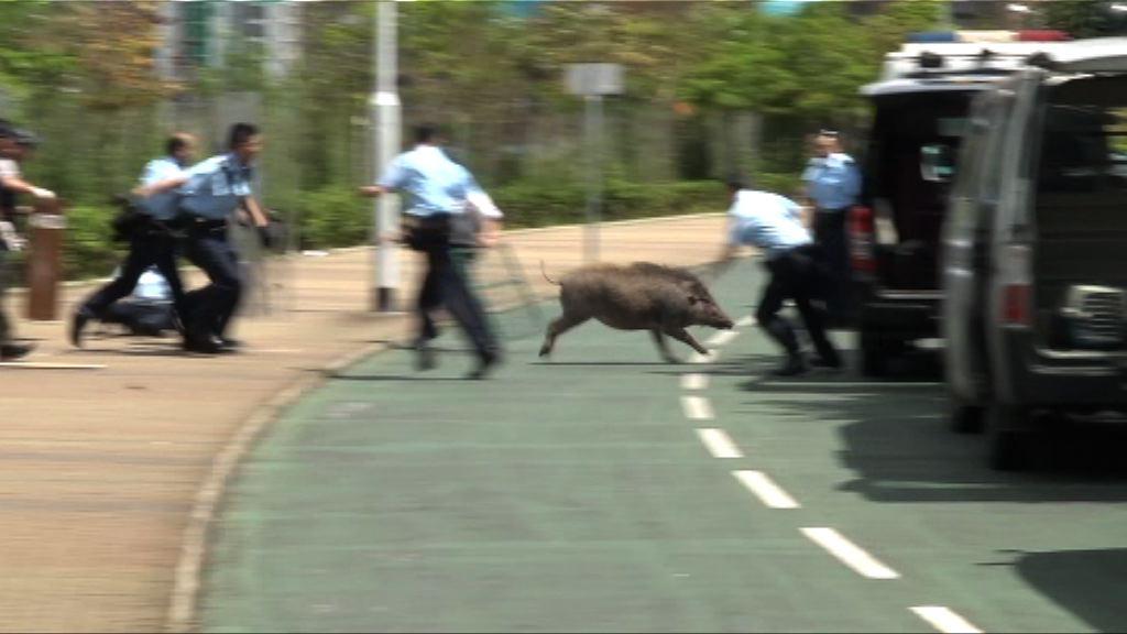將軍澳野豬撞傷兩途人被擒