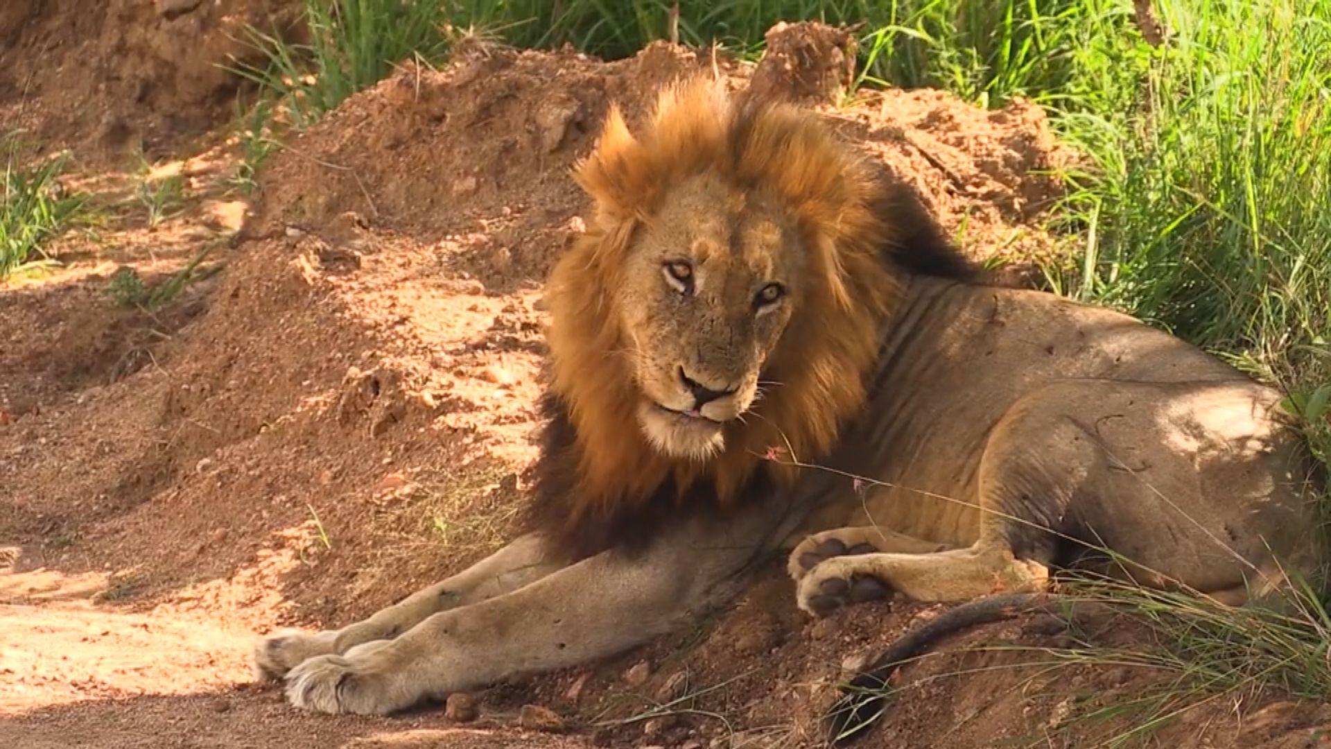 南非將禁止圈養獅子作商業用途