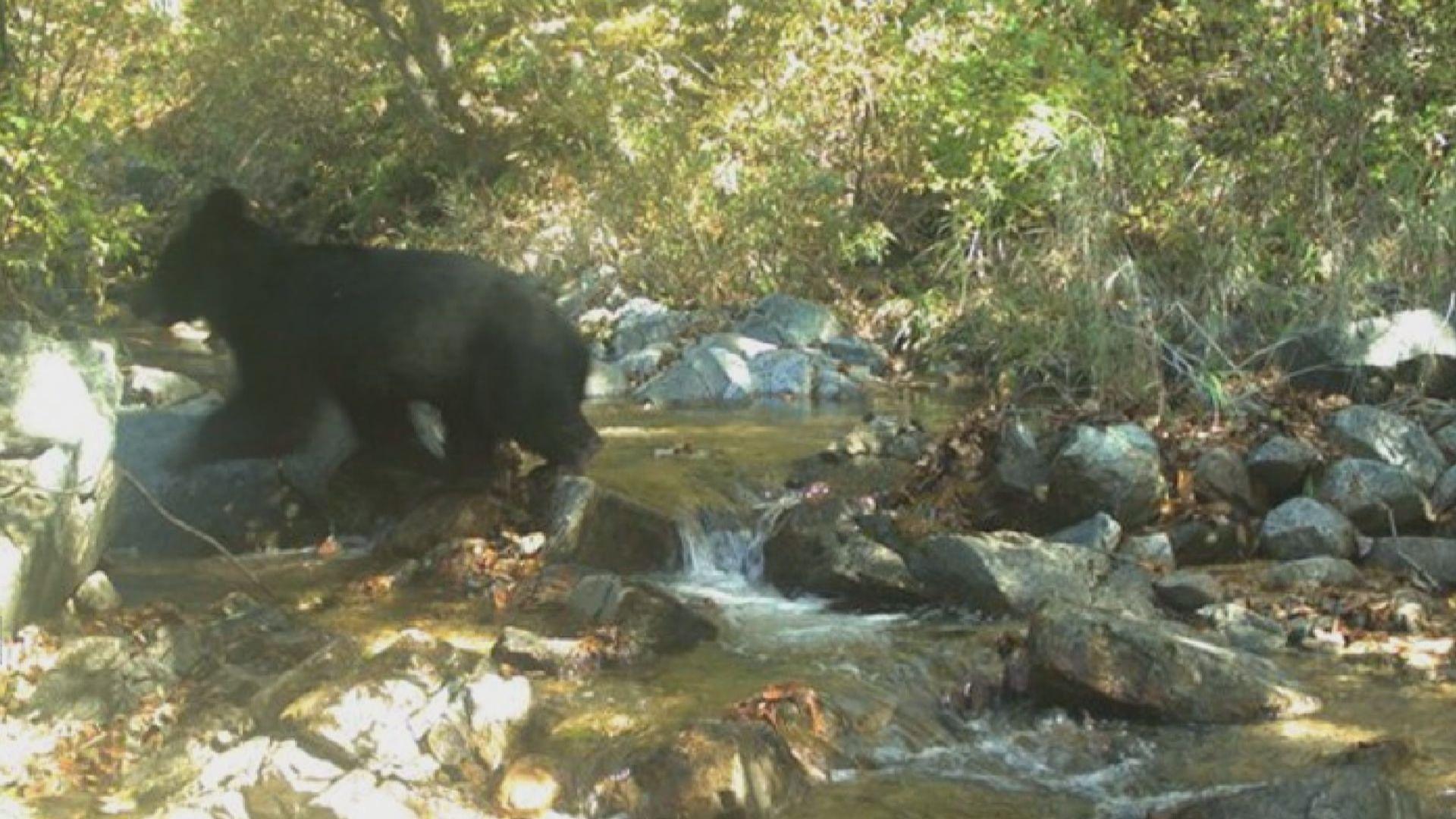 兩韓邊境非軍事區出現亞洲黑熊蹤影