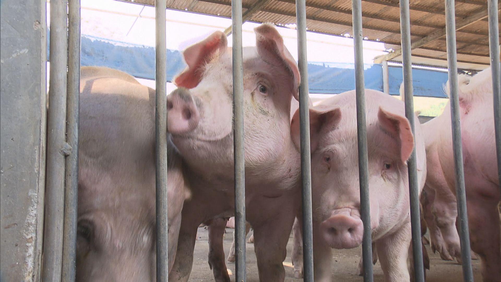 本地首錄非洲豬瘟個案 元朗豬場六隻豬感染