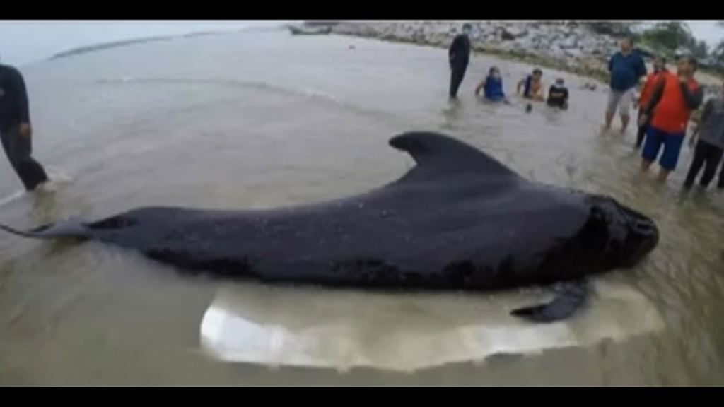 領航鯨吞80膠袋後死亡