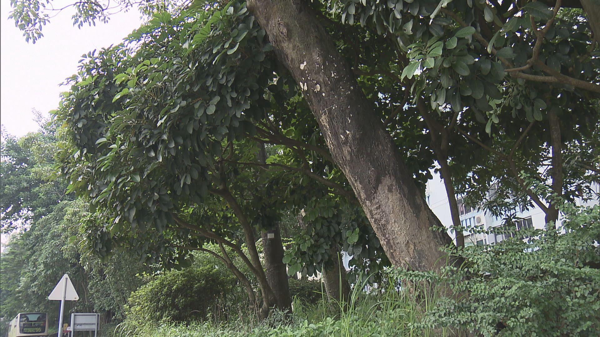 管理塌樹承辦商負責東九龍2.1萬棵樹