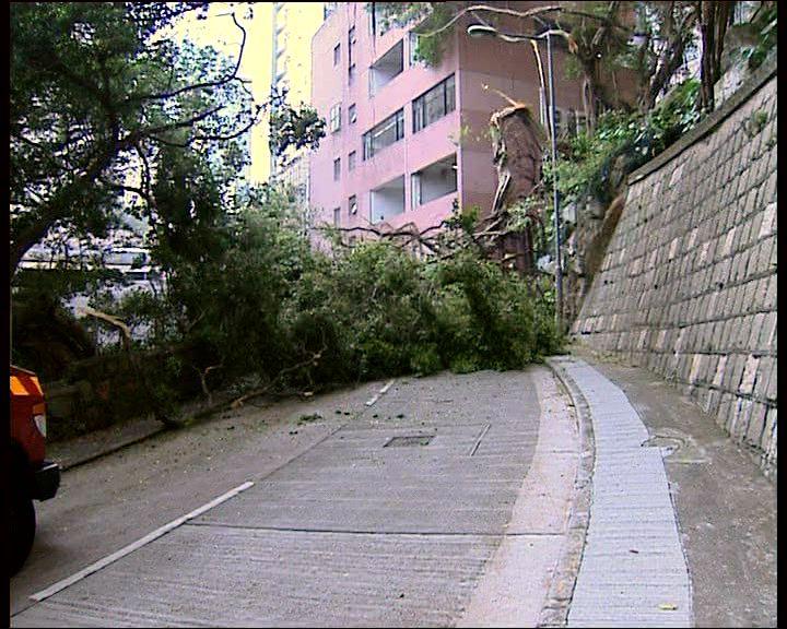 醫院道大樹倒塌附近交通受阻