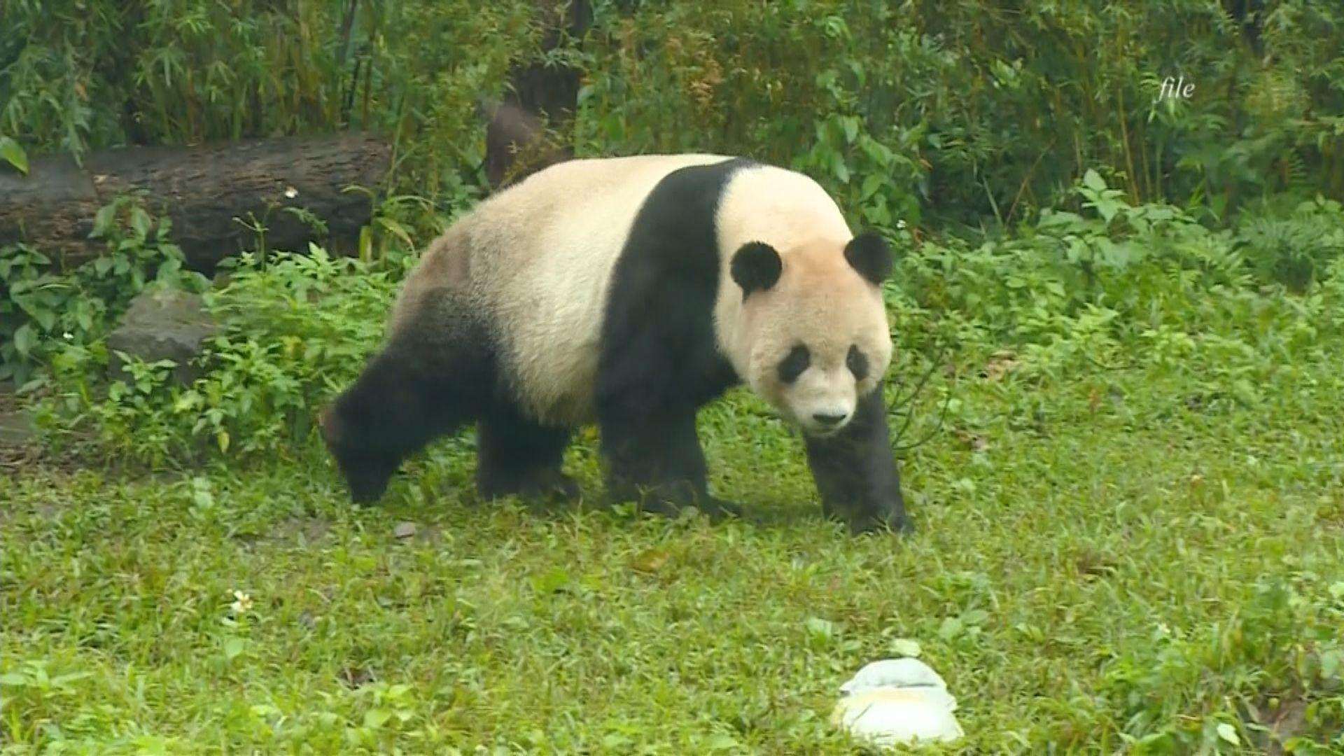 高雄可能獲重慶贈送一對大熊貓